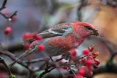 Konglebit - Pine Grosbeak (Robert Fredagsvik - Norway) Tags: norway trondheim konglebit pinegrosbeak birds fugler skogsfugler forrestbirds trøndelag fuglernorge birdsnorway vögel norwegen norge vögelnorwegen norwegiannature canon ©robertfredagsvik robertfredagsvik