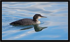 GREAT NORTHERN DIVER (PHOTOGRAPHY STARTS WITH P.H.) Tags: great northern diver nikon d500 200500mm afs vr brixham harbour south devon
