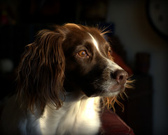 Something Spotted (Simon Corble) Tags: springerspaniel springer dog lookout watching waiting observe watch wait