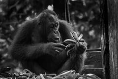 Sepilok Orangutan Rehabilitation Centre (Andrelo2014) Tags: sony ilce7m3 tamron sp 150600mm a7iii travel bw sw borneo sepilok orangutan monkey