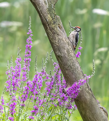 Sitting in the summer rain (- A N D R E W -) Tags: woodpecker great spotted summer verano colors flowers flores log branch tree animal bird wildlife nature naturaleza canon 80d 300mmf28lis