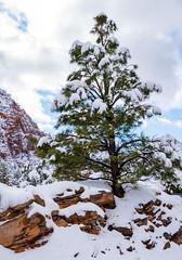 Zion National Park - Winter 2019 (Jeffrey Neihart) Tags: jeffreyneihart wildlife nikon nikond7200 nikon1680284 sandstone snow mountain cliff sunrise sunset evergreentrees pine pineforest pinetrees tunnel muledeer