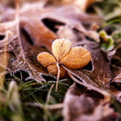 Blossom No More (Mitymous) Tags: dawn frost leaves walk weeds winter201920 wisconsin