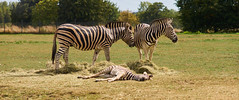 Tired Out Zebra - Cotswold Wildlife Park (Christopher Rollinson) Tags: zebra wildlife nature sony a7 cotswold park family 2391 zoo animal nikkor