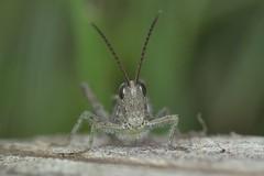 Wood Grasshopper - Omocestus rufipes (Phasmomantis) Tags: wood grasshopper omocestus rufipes insect grasslands nature uk wildlife macro closeup pentax kmount tamron sigma ringflash bbc springwatch