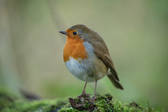robin (2) (colin 1957) Tags: robin lackfordlakes chats