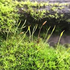 Sporophytes 10x #moss #sporophyte #こけ #苔 (pheezy) Tags: ifttt instagram square