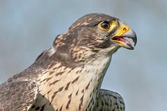 Gheppio (marypink) Tags: gheppio falcotinnunculus rapace bird raptor kestrel predator nikond500 nikkor80400mmf4556