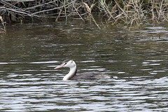 Great Crested Grebe (Roy Lowry) Tags: greatcrestedgrebe podicepscristatus simar