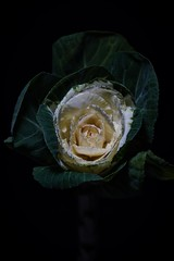 365 - Image 338 - Cabbage Rose... (Gary Neville) Tags: 365 365images 6th365 photoaday 2019 sony sonya7iii a7iii a7m3 m3 garyneville 90mm