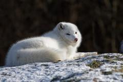 Arctic Fox (Roger Daigle) Tags: arctic fox nikon