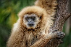 Gibbon... (D.Purkhart) Tags: thisphotorocks affe gibbon nahaufnahme jungleparqueteneriffa jungleparque teleobjektiv canon canarias