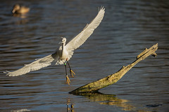 You can't land there ya egret (Paul wrights reserved) Tags: egret egrets bird birds birdphotography birdwatching nature wildlife