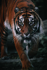 Sneaky tiger (Soren Wolf) Tags: animal animals close tiger tigers dangerous zoo wroclaw nature dark striped day nopeople outdoorsanimal outdoors nikon d750 300mm