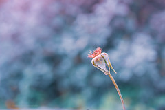 Sony a7r2 sony 90mm 2.8 g macro (Jasrmcf) Tags: sony sonymacro sonya7r sonyg sonyimages sony90mm28 sonya7rii garden nature ngc colours colourful colourartaward greatphotographers dof detail depthoffield delicate blur 90mm flower beautiful bokeh bokehgraph bokehlicious