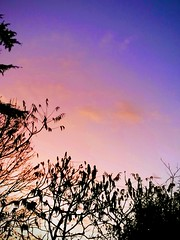 Sunset (daveandlyn1) Tags: colours sky vividcolours foliagebranches leaves madeinshrewsbury pralx1 p8lite2017 huaweip8 smartphone psdigitalcamera cameraphone