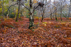 Sussex Woodland Walks (Adam Swaine) Tags: woodland woodlandfloor trees sussex westsussex naturelovers nature leaves england english britain british uk ukcounties counties countryside county beautiful seasons lichen adamswaine 2019 country leaf southeast flora