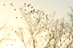Dreaming of Geese (NaturalLight) Tags: canadageese flock geese chisholmcreekpark wichita kansas