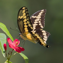 Giant Swallowtail Butterfly necatring on Flowers, Fairchild Tropical Botanic Garden. (pedro lastra) Tags: panasonic leica 100400mm g9 micro 43 four thirds