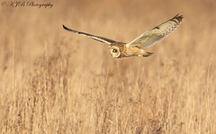 S.E.O(Flight) (KJB Photography.) Tags: seo short eared owl flight fenland wetland farmland