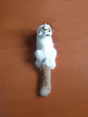Full Tail Portrait (salashin) Tags: whisker cat pets animals white nizhnynovgorod russia