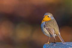 robin / Rotkelchen (Senol Könnecke) Tags: robin light colors wildlife nature animals birds birding birdwatching d850 nikon 200500mm photography tierfotografie vögel tiere natur vogelbeobachtung rotkelchen