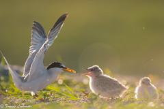 Little tern (Sternula albifrons) rybitwa białoczelna - feeding time (tomaszberlin) Tags: