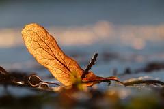 Leaf in light (evisdotter) Tags: leaf löv macro bokeh nature light sooc frost texture coth5