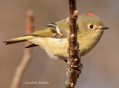 Ruby-crowned Kinglet (Lindell Dillon) Tags: rubycrownedkinglet bird birding ebird nature normanok oklahoma wildoklahoma