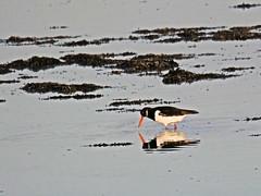 P1016537 Oystercatcher (Photos-Tony Wright) Tags: bird birds wildlife december 2019 wader oystercatcher