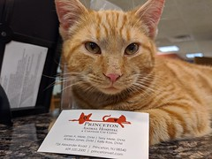 Dear Santa,  here's my contact info in case some wonderful family wants to adopt me for Christmas! (Kerri Lee Smith) Tags: axel cats felines tabby tabbies orange ginger stray rescue kitten thismaynotbeoldsanjuanbut words adoption