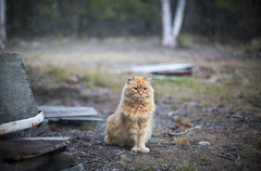 Deep Thought (Keith Midson) Tags: cat ginger gingercat tasmania kingston