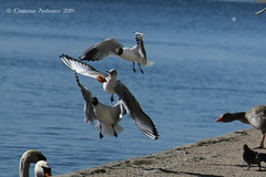 ... Sing for your supper ... (ChristianofDenmark) Tags: christianofdenmark copenhagen denmark spring seagull water birds food