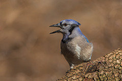 Blue Jay (Lynn Tweedie) Tags: wood bluejay beak tail wing canon ngc animal feathers bird 5dmarkiv tree eye eos ef400mm56lusm missouri branch