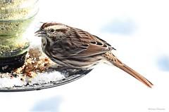 Song Sparrow (Anne Ahearne) Tags: wild bird animal nature wildlife birdfeeder winter snow songbird birdwatching songsparrow