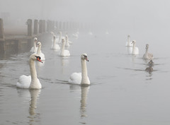 _T6A8489REWS Swan Procession, © Jon Perry, 4-12-19 zbs (Jon Perry - Enlightenshade) Tags: procession swan swans river thames marlow inline fog distance receding visibility jonperry enlightenshade arranginglightcom 41219 20191204