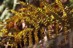 Durch die Sonne vergoldet - Gilded by the sun (heinrich.hehl) Tags: spätherbst natur flora farnblatt makro gold macro fernfrond nature lateautumn
