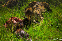 MASAI MARA (RLuna (Instagram @rluna1982)) Tags: kenya africa fauna solioranch aberdares naturaleza naivasha rift guepardo masai amboseli kilimanjaro safari todoterreno 4x4 viaje vacaciones holidays photo canon rluna rluna1982 karibu hakunamatata polepole wildlife serengueti kenianairlines instagram flysafarilink offroad spotlight instagramapp photography camera felino depredador masaimara