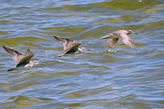 Grey-tailed Tattler (philk_56) Tags: western australia perth swan river bird point dundas applecross grey tailed tattler wader flight water flying
