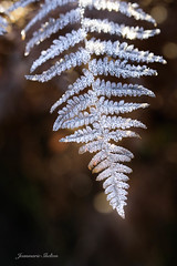 Frosted (jeanmarie's photography) Tags: macro jeanmarieshelton flora frost light bokeh dof nature nikon closeup upclose silver