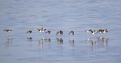 P1016538 Dunlin Flock (Photos-Tony Wright) Tags: bird birds wildlife december 2019 wader dunlin flock