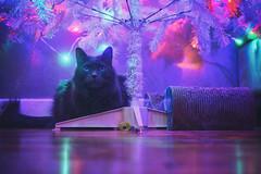The Best Gift (flashfix) Tags: december042019 2019inphotos flashfix flashfixphotography ottawa ontario canada nikond7100 40mm kitty nose fyero nebelung ragamuffin ragdoll fluffy gray cat light christmas christmaslights bokeh christmastree catmas