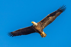 BALD EAGLE (nsxbirder) Tags: ohio baldeagle clermontcounty birds eastforkstatepark bantam immature