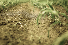 Plantacja kukurydzy (lasti24com) Tags: nature landscape plants corn kukurydza natura pole