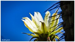 Sabia naturaleza / Wise nature (Claudio Andrés García) Tags: flowers flores cactus espinas thorns naturaleza nature montaña mountain fotografía photography shot picture primavera spring cybershot flickr