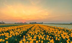 I wandered lonely as a cloud --   That floats on high o'er vales and hills, When all at once I saw a crowd, A host, of golden daffodils; Beside the lake, beneath the trees, Fluttering and dancing in the breeze. (Alex-de-Haas) Tags: 1635mm d500 dutch europa europe holland nederland nederlands netherlands nikkor nikkor1635mm nikon nikond500 noordholland agriculture akkerbouw beautiful beauty bloemen bloemenvelden boerenland bollenvelden bulbfields daffodil daffodils farmland farming flowerfields flowers landbouw landscape landscapephotography landschaft landschap landschapsfotografie lente lucht mooi narcis narcissen polder pracht schoonheid skies sky spring sundown sunset zonsondergang burgerbrug northholland