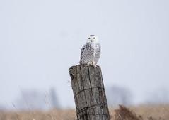 Snowy Owl (karen.hogan) Tags: ngc snowy owl birds prey ottawa nikond500 snowyowl