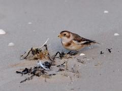 Bruant des neiges (plectrophenax nivalis)... (pierre.pruvot2) Tags: hautsdefrance calais plage beach sand sable oiseau bird bruant bunting panasonic leica lumixg9