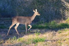Deer 2 (Autophocus) Tags: deer doe herbivore wildlife feraenaturae animal mammal ranch farm brush feed trees branches twigs leaves grass venison texas usa