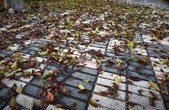 jlvill  249  Hojas del arbol caidas .... (jlvill) Tags: otoño hojas pavimento 1001nightsthenew